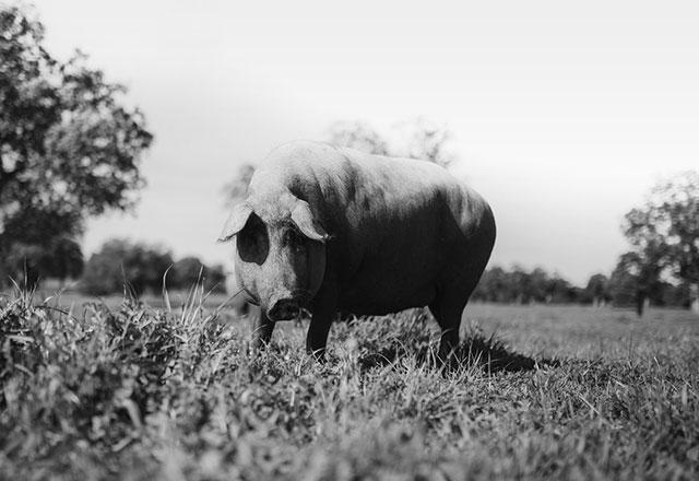 ΟΡΑΜΑ ΜΑΣ στην KERMES είναι η αναγέννηση της ράτσας χοίρων